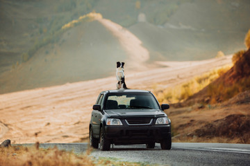 beautiful black and white dog border collie sit on a car in the desert. in the background mountains