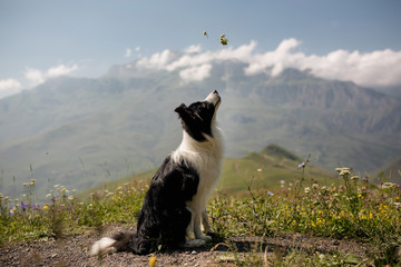 beautiful black and white dog border collie sit on a field on mountain and look up. in the...