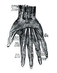 An engraved illustration of wrist from a vintage book Human physiology written by P.P. Orlov and published in 1900.
