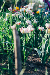 Many white with pink tulips grow in the ground in the garden, on a bed. Spring garden. Holiday