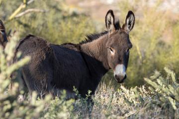 Fotobehang Ezel Wild Burro in the Arizona Desert