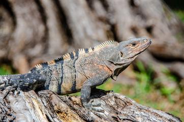 Grüner Leguan in Florida in epischer stolzer Pose