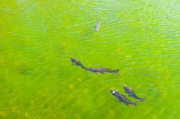 Fish in a transparent green water lake