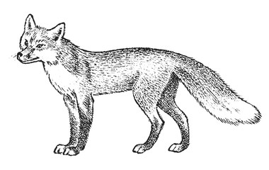 Red fox, Wild animal. Symbol of the north and the forest. Vintage monochrome style. Predator in Europe. Engraved hand drawn sketch for banner or label.