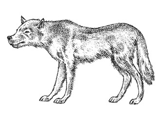 Gray wolf, Wild animal. Symbol of the north and the forest. Vintage monochrome style. Predator in Europe. Engraved hand drawn sketch for banner or label.
