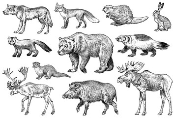 Set of Wild animals. Brown Grizzly Bear Forest Moose Red Fox North Boar Wolf Sable Badger Gray Hare Reindeer River otter. Vintage monochrome Mammal and Predator in Europe. Engraved hand drawn sketch.
