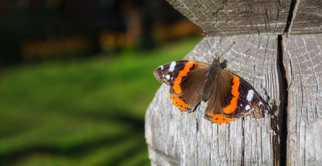 Foto auf AluDibond Schmetterlinge im Grunge Black and orange Vanessa atalanta butterfly on a wooden surface. Place for text. Blurred background. Old wood with cracks.