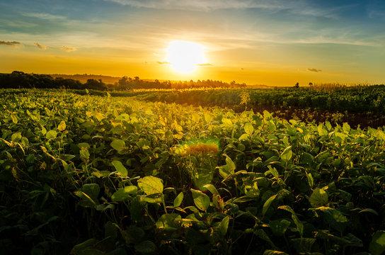 Green field of soy