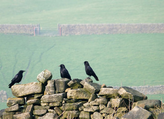 three crows perched on an old stone wall in a field with green hillside meadows and gates in the distance