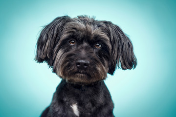 Portrait of schnauzer puppy on blue background