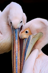 Close-up of two rosy pelicans in love sticking their heads together (Pelecanus onocrotalus) isolated on black background