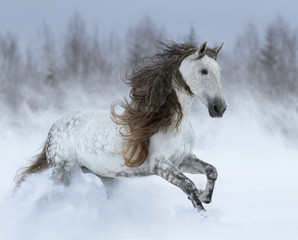 Fototapete - Grey long-mane Andalusian horse galloping during snowstorm.