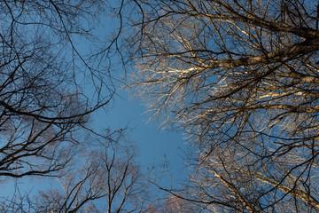 la cime des arbres sur fond de ciel bleu
