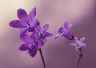 Leinwandbilder - Fioletowe wiosenne kwiaty