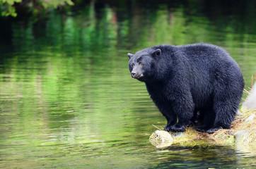 Black Bear Fishing in River, Coastal Rain Forest.  British Columbia, Canada