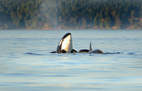 Whale Spyhopping. Pod of Orca Killer whales swimming in blue Ocean, Victoria, Canada