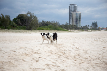 Two border collies playing on the beach