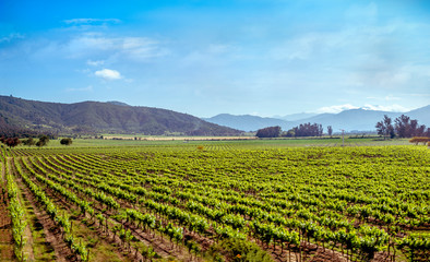 landscape of vineyard in southern Chile