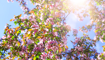 Branch of blossom flowers with pink and red petals on background of blue sky. Easter background with blossom blooming in springtime. Apple tree flowers blooming. Blossoming cherry tree flowers.