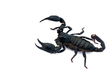Black scorpion isolated on a white background for graphic design