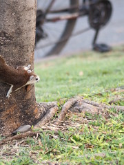 Squirrel climbs on the trunk tree rodent animal