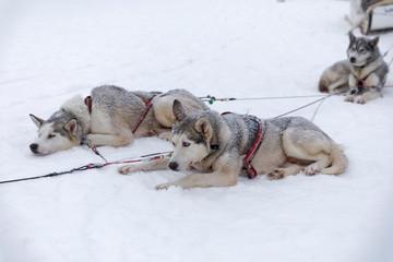 Huskys ruhen im Schnee