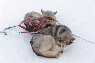 Husky ruhen im Schnee
