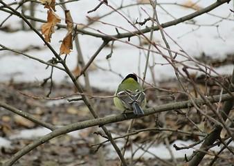 Great tit on branch in a winter season