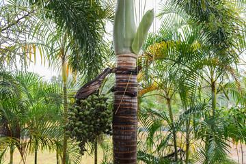 Fruchtstand mit Samen und neue Blütenknospe einer Palme