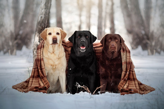 three labrador retriever dogs of different colors walking in a snowy forest beautiful portrait