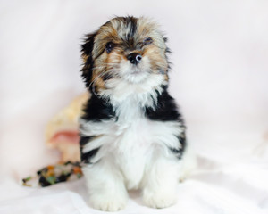 Two month old puppy Biewer-Yorkshire Terrier on a white background.  Dog with seashell.