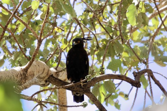 Long crested eagle (Lophaetus occipitalis) in a tree