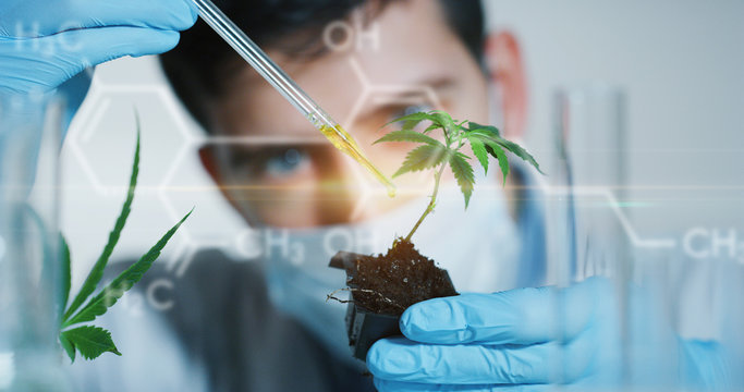 Portrait of scientist with mask and gloves checking and analyzing with a droplet a biological and ecological hemp plant used for herbal pharmaceutical cbd oil in a laboratory.