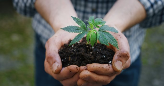 Close up of agronome hands keeping a sprout of biological and ecological hemp plants used for herbal pharmaceutical cbd oil outside the greenhouse.