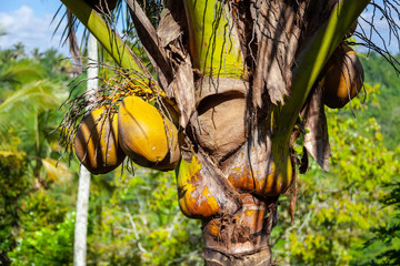 Coconuts growing on a coconut palm in Bali