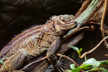 Caiman Lizard III
