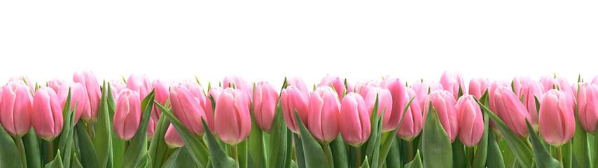 Fototapeta Tulipany panorama z białym tłem obraz