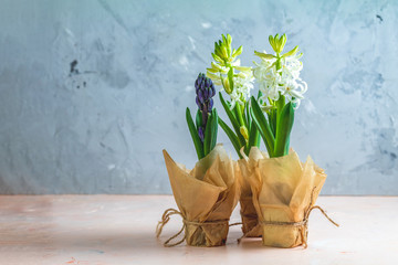 Two white hyacinths and blue hyacinth in pots
