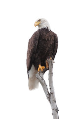 Bald Eagle Clutches to the Top of a White Birch Tree