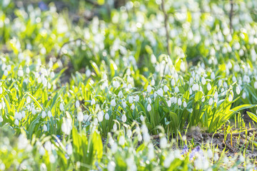 White blooming snowdrop folded or Galanthus plicatus with water drops