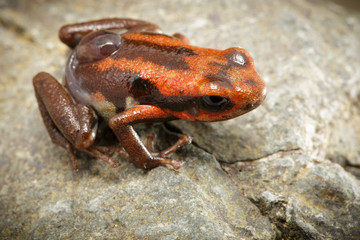 poison dart frog with tadpole on its back, Andinobates bombetes. A small poison frog from the rain forest of Colombia