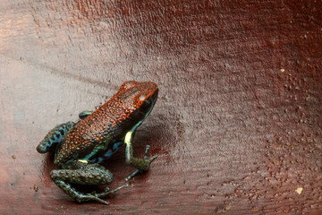 dart frog Ameerega bilinguis a small dendrobatidae from the tropical Amazon rain forest of Colombia and Ecuador;