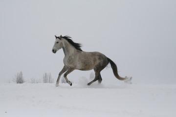 Printed kitchen splashbacks Artist KB arab horse on a snow slope (hill) in winter
