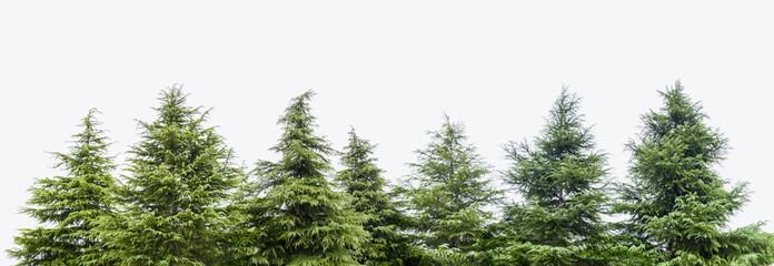 cedar trees isolated