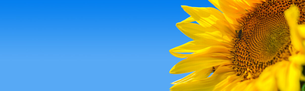 Bright yellow sunflower with bumblebee is illuminated by sunlight. Mock up template. Copy space for your text