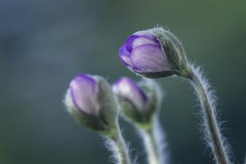 Leinwandbilder - Wiosenne kwiaty w pąkach - przylaszczka