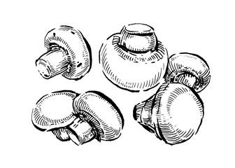 Champignon, White button mushrooms. Hand drawn vintage vector illustration on white background