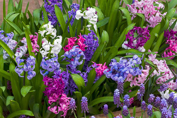 Beautiful multicolored  hyacinths
