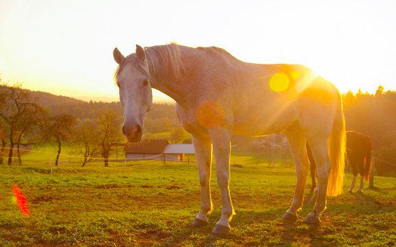LENS FLARE: Golden morning sun rays shine on the senior white horse grazing.