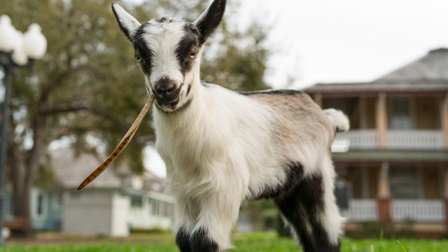 Lazy Eyed Baby Goat